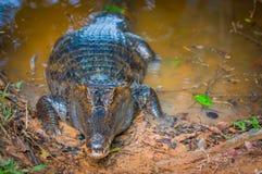 Caiman в тинной воде на банке реки Cuyabeno, запас живой природы Cuyabeno, эквадор стоковые фото