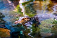 Caiman карлика в воде Стоковая Фотография