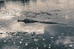 Caiman плавая на поверхность воды в Esteros del Ibera, Аргентине стоковое изображение rf
