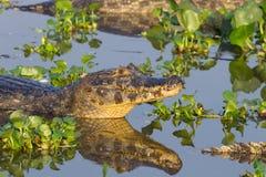 Caiman плавая на Pantanal, Бразилию стоковые фотографии rf