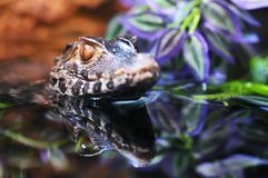 Caiman Royalty Free Stock Photography