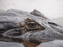 Caiman Royalty Free Stock Image