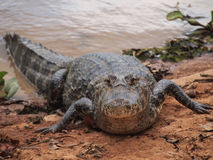 Caiman. Walking out of the water in Pantanal, Brasil royalty free stock image