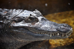 Caiman Stock Photo