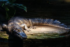 Caiman alligator Royalty Free Stock Images