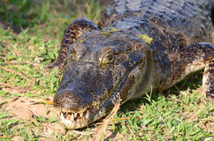 Caiman in the Brazilian Pantanal Stock Photography