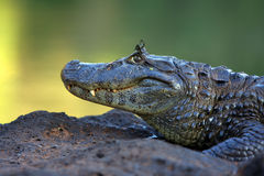 Caiman with butterfly eyelashes Royalty Free Stock Photo