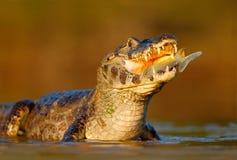 Caiman, Caiman Yacare, крокодил с рыбами в рте с солнцем вечера, в реке, Pantanal, Бразилия стоковые изображения rf
