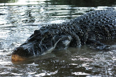 Caiman (Caimaninae) Stock Photos