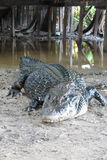 Caiman (Caimaninae) Royalty Free Stock Photo
