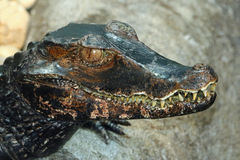 Caiman Stock Photography