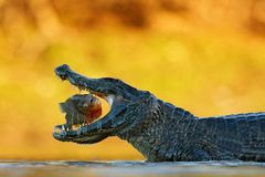 Caiman, crocodile with fish in with open muzzle with big teeth, Pantanal, Brazil. Detail portrait of danger reptile. Lynx in green. Yacare Caiman, crocodile with Royalty Free Stock Image