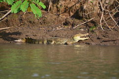 Caiman, crocodile. Mangroves, Estuaries, marshes and swamps, jungle of Central, South America and Costa Rica Stock Photos