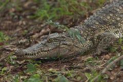 Caiman crocodile. Waiting on the land Stock Photo