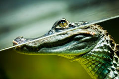 Caiman crocodilus Stock Images