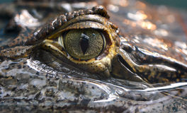 Caiman crocodilus 3 Zdjęcia Stock