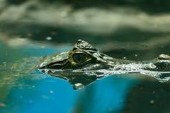 Caiman crocodilus 4 Obrazy Stock