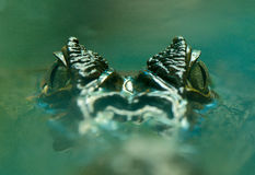 Caiman crocodilus 15 Zdjęcia Stock