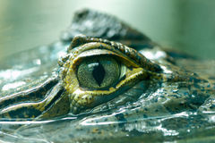 Caiman crocodilus 6. The lineage including alligators proper (Alligatorinae) occurs in the fluvial deposits of the age of the Upper Chalk in Europe, where they Royalty Free Stock Image