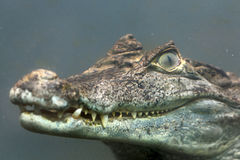 Caiman crocodilus 10 Royalty Free Stock Image