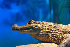 Caiman crocodilus 13. The lineage including alligators proper (Alligatorinae) occurs in the fluvial deposits of the age of the Upper Chalk in Europe, where they Royalty Free Stock Image