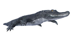 Caiman. 3D digital render of an alligator caiman isolated on white background stock photos