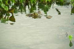 Caiman dagli occhiali che si nasconde nell'acqua Fotografia Stock