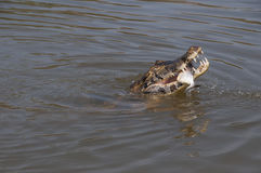 Caiman. Eating a fish in Pantanal, Brazil Stock Photos
