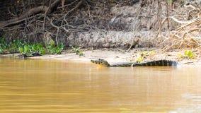 Free Caiman Floating On Pantanal, Brazil Royalty Free Stock Photo - 159120325