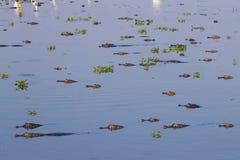 Caiman floating on Pantanal, Brazil Royalty Free Stock Photo