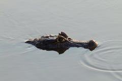 Caiman floating on Pantanal, Brazil Stock Photo