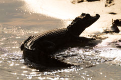 Caiman floating on Pantanal, Brazil Royalty Free Stock Image