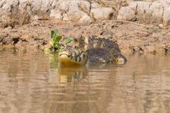 Caiman floating on Pantanal, Brazil Royalty Free Stock Photos