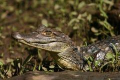 Caiman Gator3 Royalty Free Stock Images