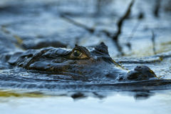 A caiman glides silently on the river Stock Image