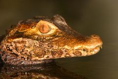 Caiman head. Posing in still water Stock Images