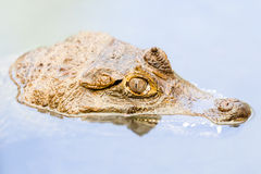Caiman Head Emerging From Murky Waters Royalty Free Stock Photos
