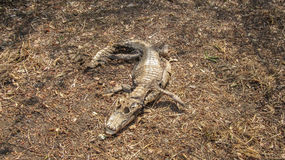 Caiman - Jacare, Alligator - dead corpse carcass in decompositio. N in the brazilian pantanal Royalty Free Stock Photo