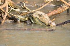 Caiman, krokodyl zdjęcia stock