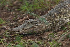 Caiman krokodyl zdjęcie stock