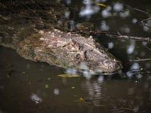 Caiman latirostris Vasto-Snouted del caimano che si apposta su Wate paludoso immagini stock libere da diritti