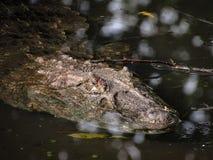 Caiman latirostris Vasto-Snouted del caimano che si apposta su Wate paludoso immagini stock