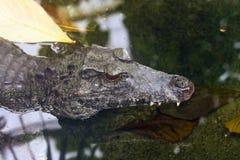 Caiman liso-afrontado de Schneider Fotos de archivo