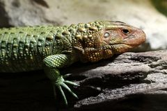 Caiman lizard Stock Photos