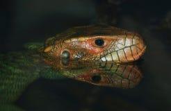 Caiman lizard Stock Photos