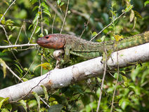 Caiman Lizard Royalty Free Stock Photo