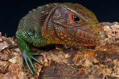 Caiman lizard. The caiman lizard / Dracaena guianensis is a big, heavily armored, lizard species from northeastern South America Royalty Free Stock Image