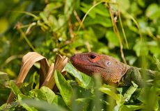 Caiman Lizard Stock Images