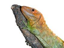 Caiman lizard Stock Image