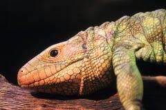 Caiman lizard. The detail of caiman lizard Royalty Free Stock Photos